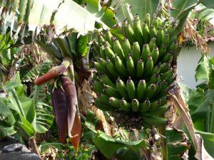 Aber nicht nur deshalb ist die Banane ein echter Schlankmacher, durch das langsame Verdauen der langkettigen Kohlenhydrate steigt auch der Blutzuckerspiegel nur langsam an.