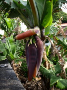 banaanbloem