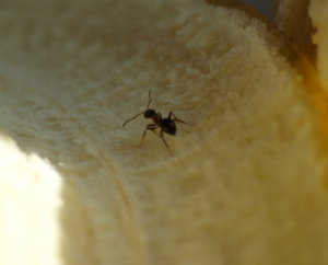 Mieren communiceren met feromonen